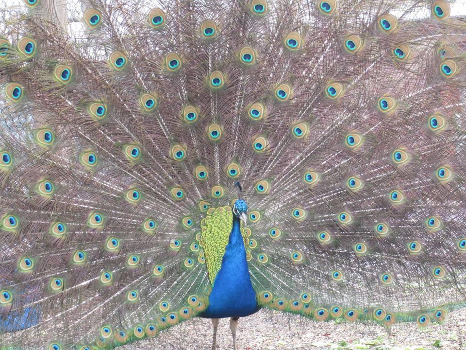 fnc-peacock-credit-kyla-haber